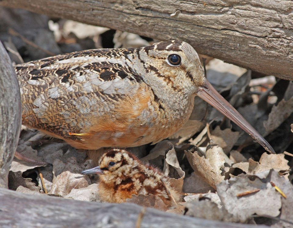American Woodcock - Photo Earl Harrison