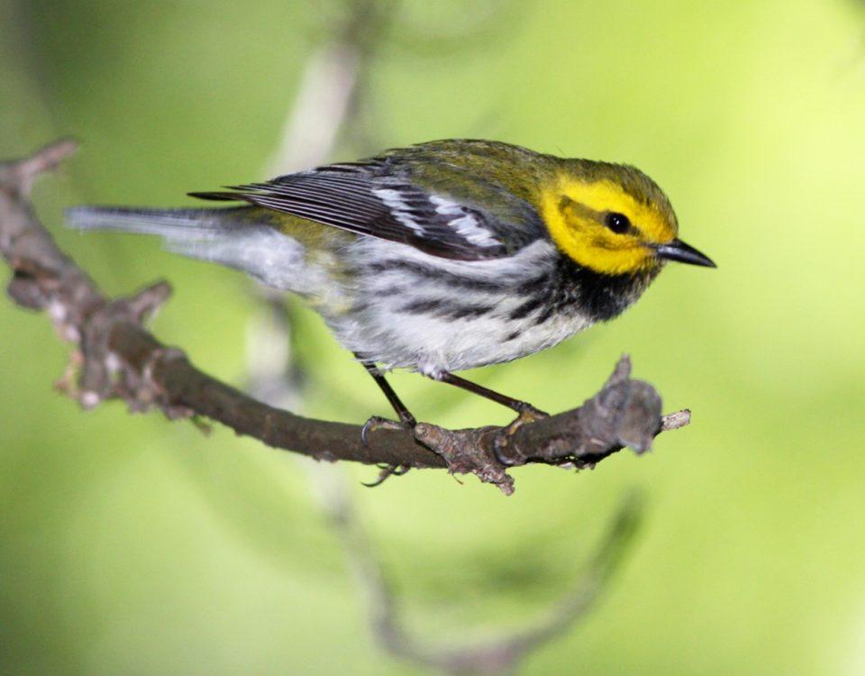 Black-throated Green Warbler - Photo Earl Harrison