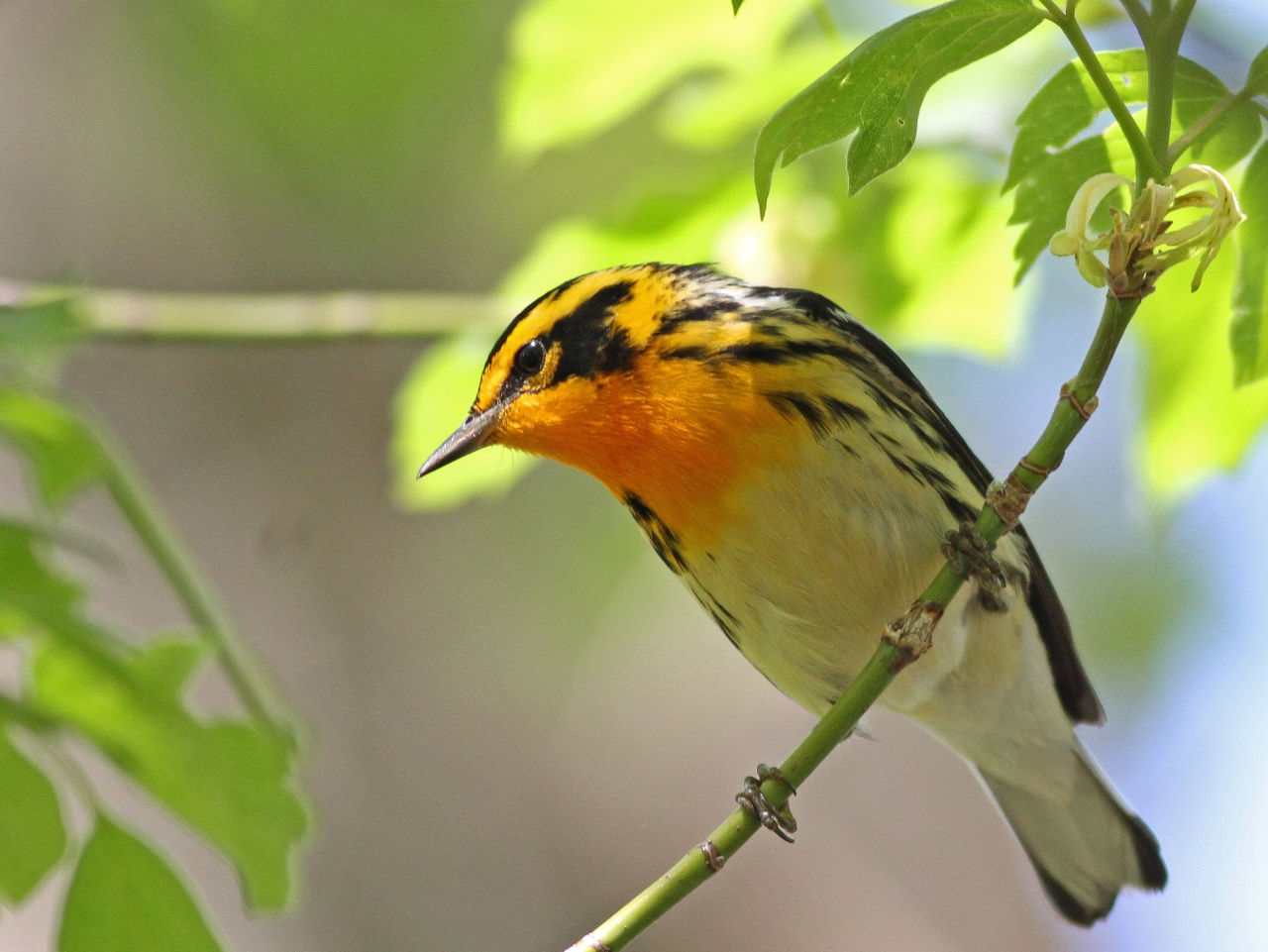 Blackburnian Warbler - Photo Earl Harrison
