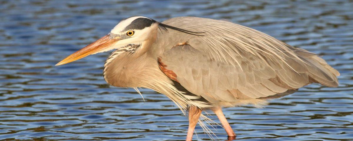 Great Blue Heron - Photo Earl Harrison