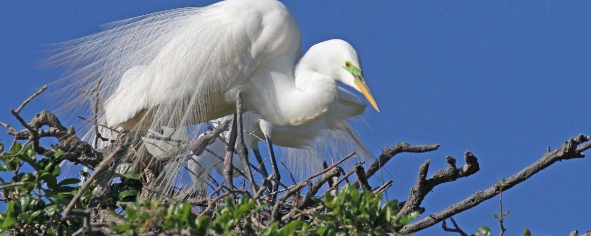 Great Egret in Tree - Photo Earl Harrison