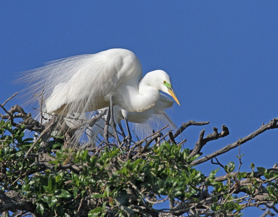 Great Egret in Tree - Photo Earl Harrison