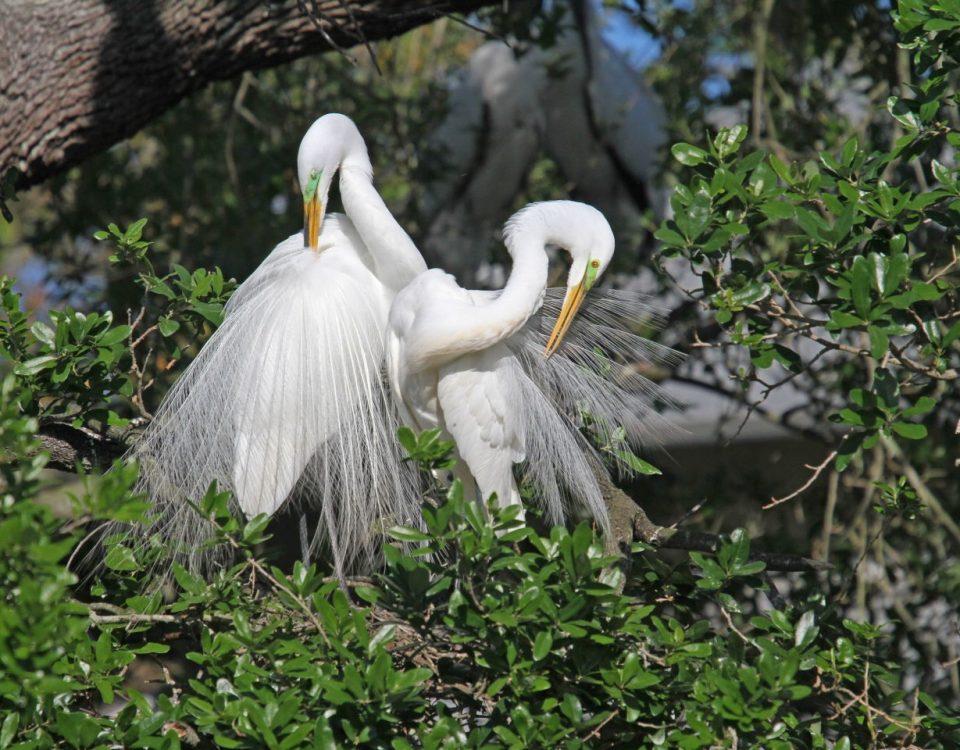 Great Egrets Mutual Preening - Photo Earl Harrison