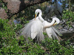 Great Egrets - Photo Earl Harrison