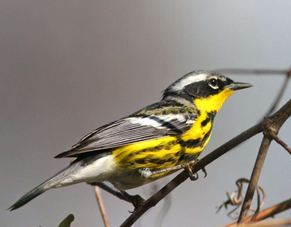 Magnolia Warbler - Photo Earl Harrison