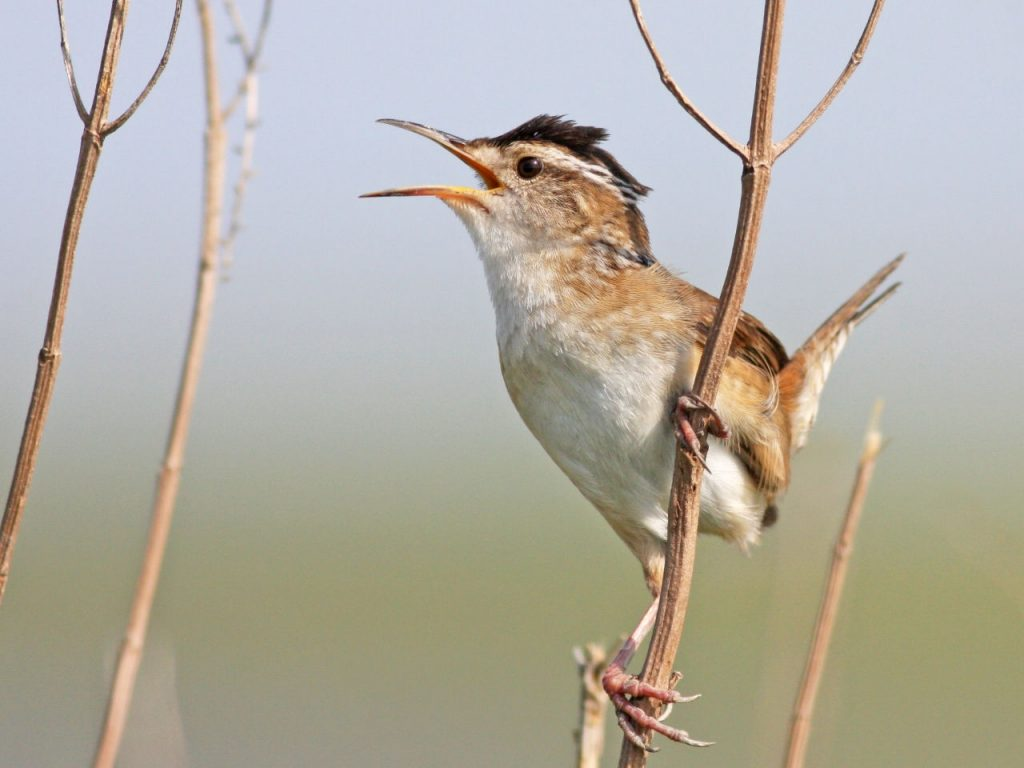 Marsh Wren Singing - Photo Earl Harrison