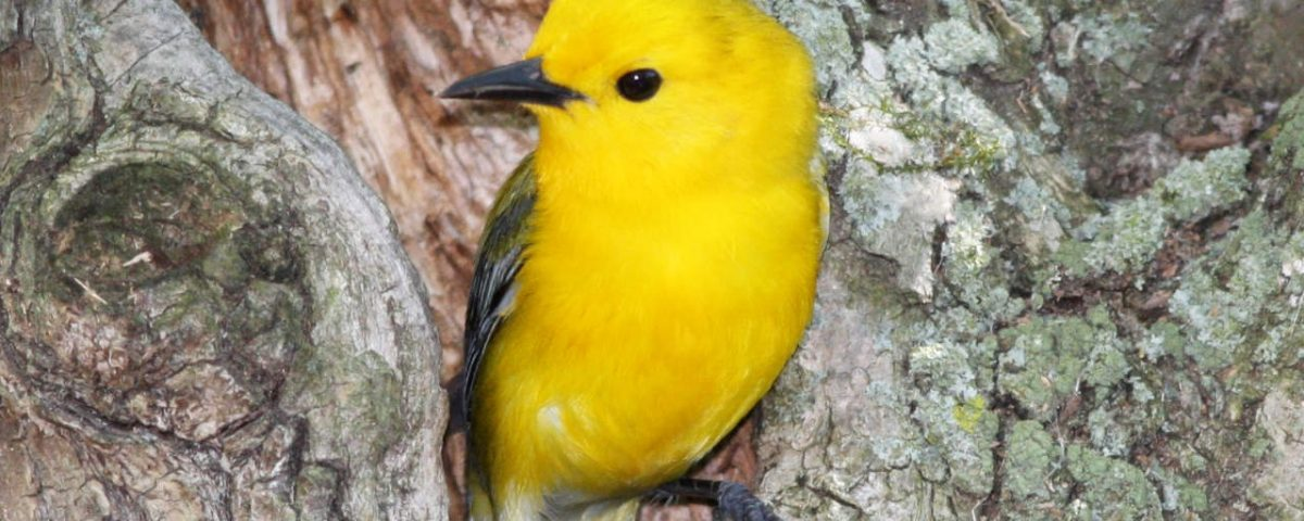 Prothonotary Warbler center - Photo Earl Harrison
