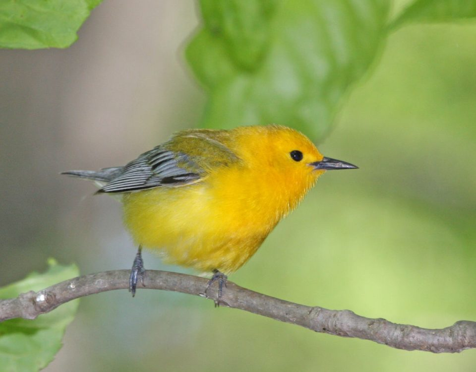 Prothonotary Warbler right - Photo Earl Harrison