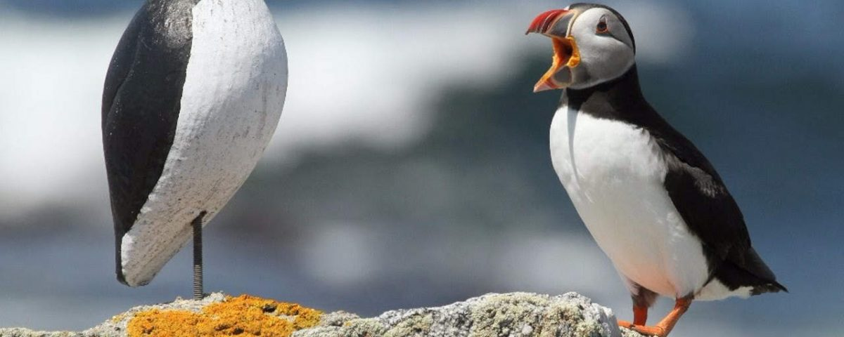 Puffin with Decoy - Photo Steve Kress