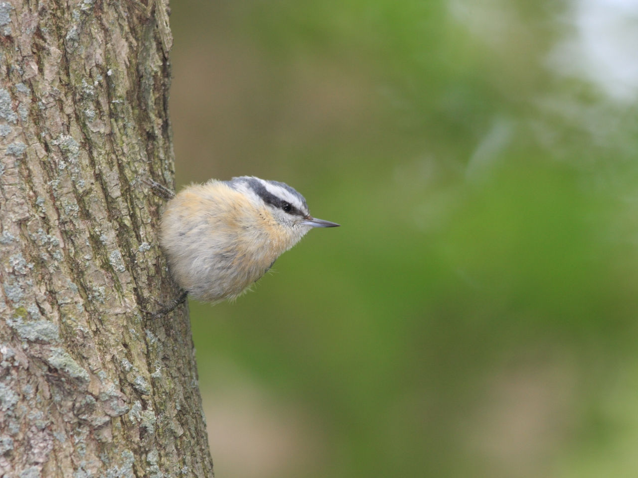 Red-breasted Nuthatch - Photo Earl Harrison