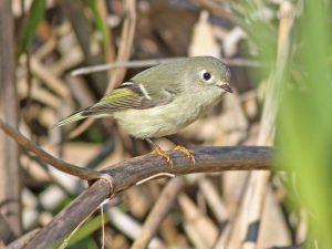 Ruby-crowned Kinglet- Photo Earl Harrison