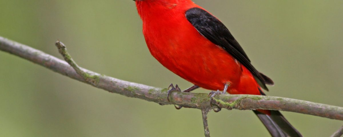 Scarlet Tanager left - Photo Earl Harrison
