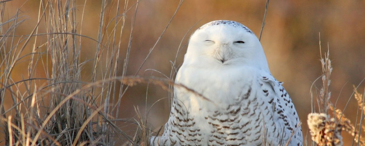 Snowy Owl - Photo Earl Harrison