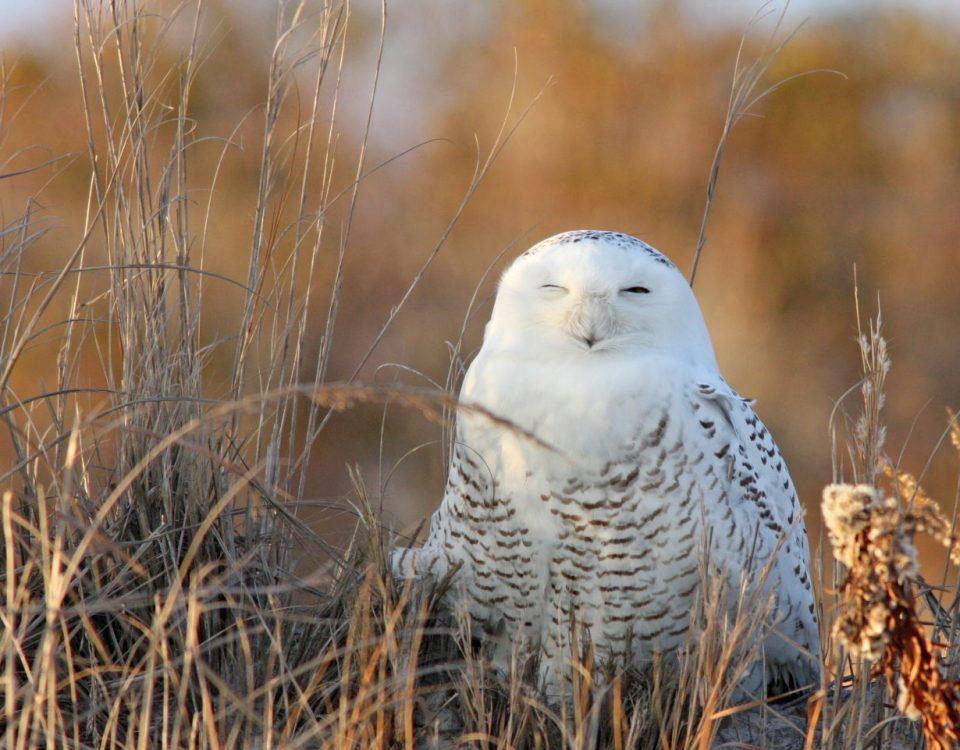 Snowy Owl - Photo Earl Harrison