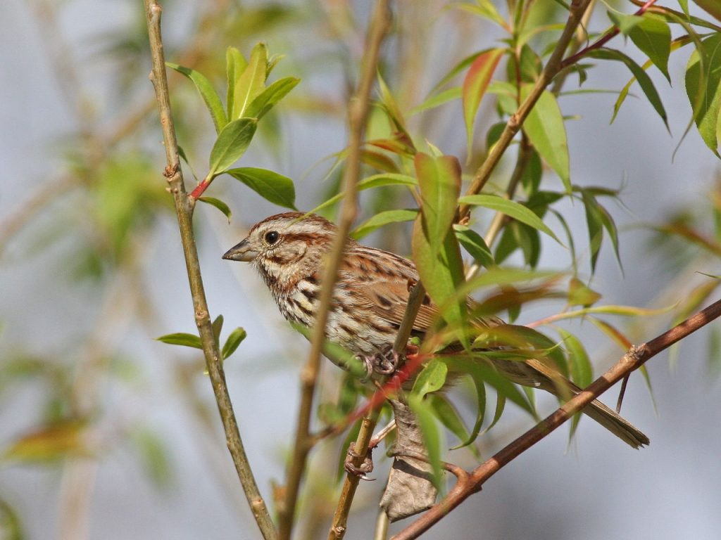 Song Sparrow - Photo Earl Harrison