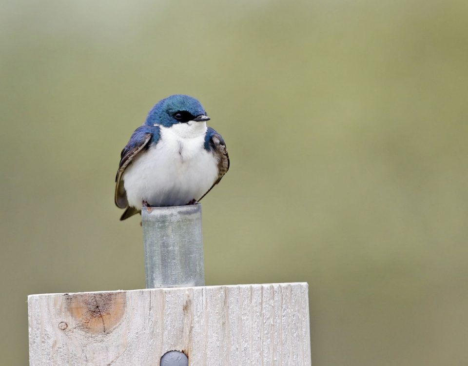 Tree Swallow on Post - Photo Earl Harrison