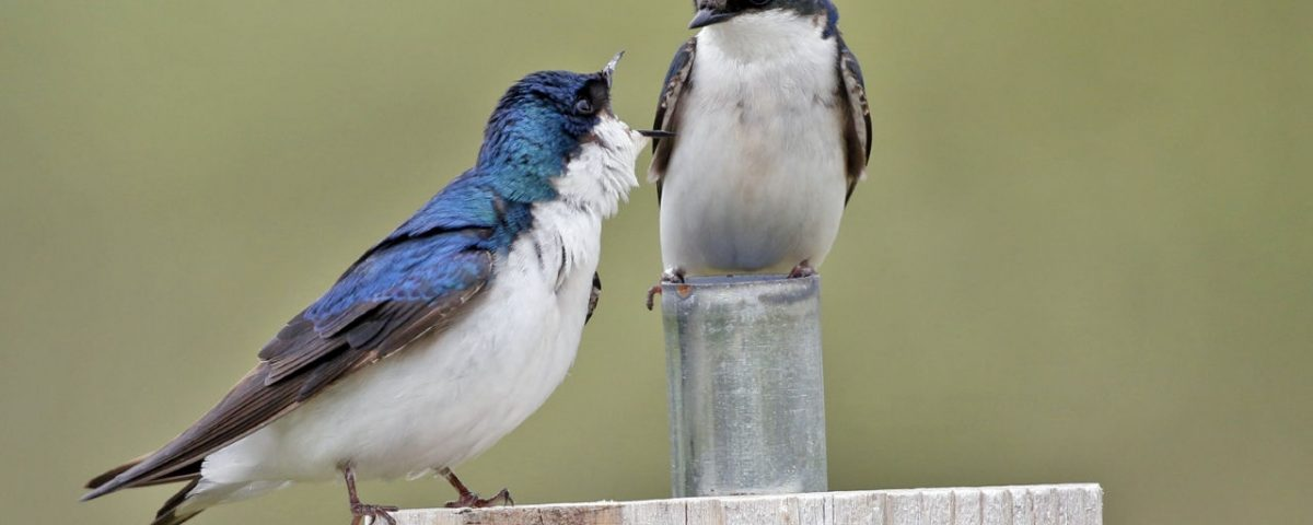 Tree Swallow Pair on Post - Photo Earl Harrison