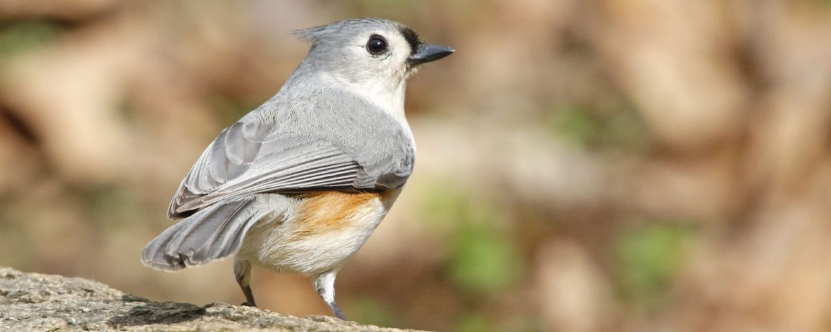 Tutfted Titmouse right - Photo Earl Harrison