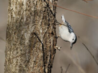 White-breasted Nuthatch - Photo Earl Harrison