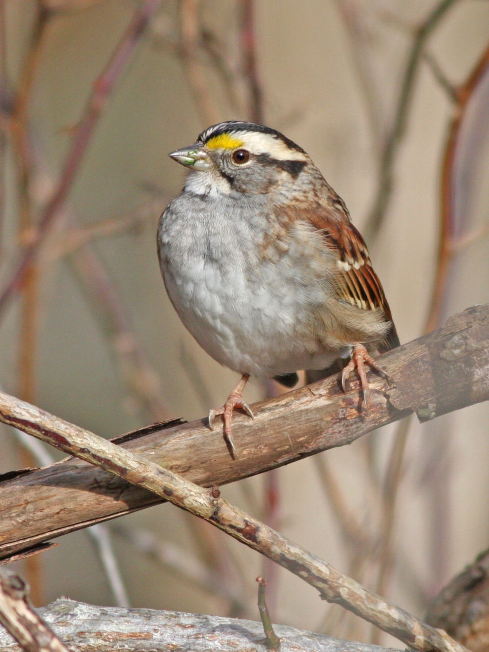 White-throated Sparrow - Photo Earl Harrison
