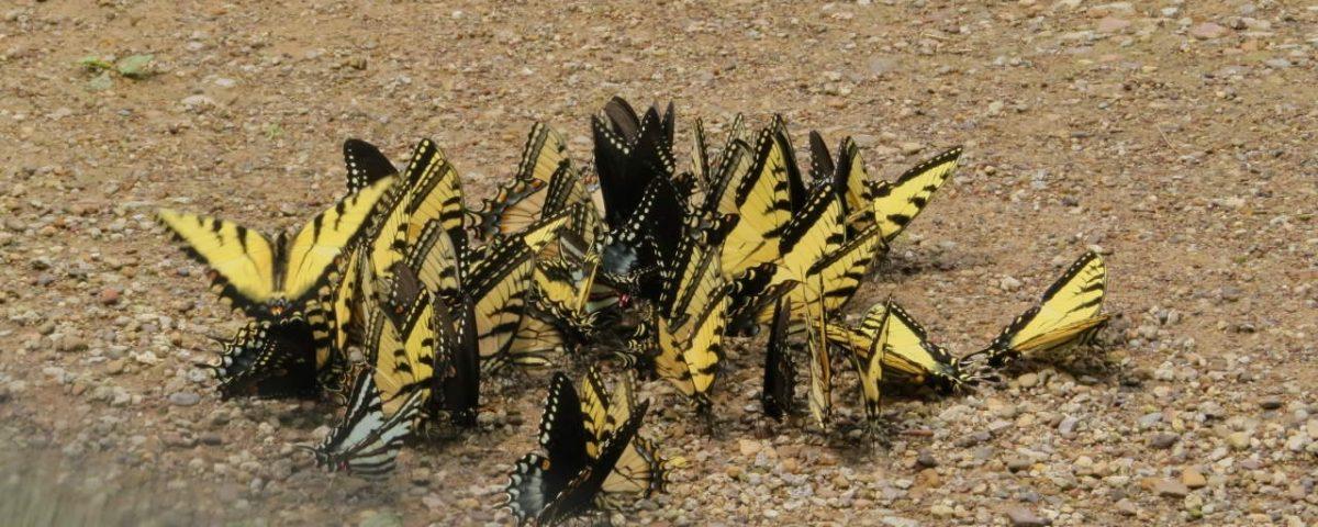 Butterflies Puddling at Shawnee - Photo Lisa Phelps