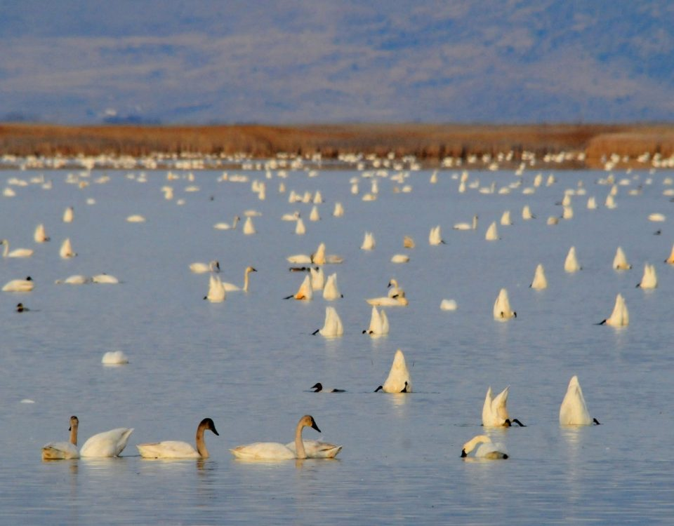 Tundra Swans - Photo USFWS