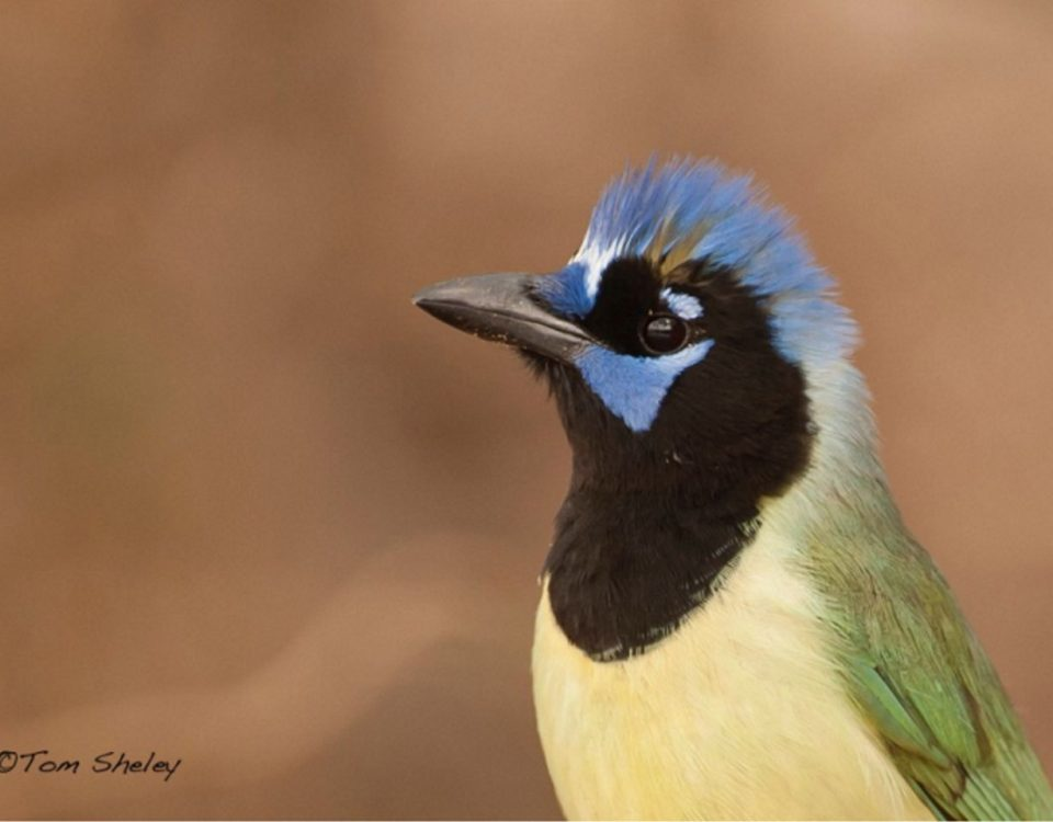 Green Jay - Photo Tom Sheley