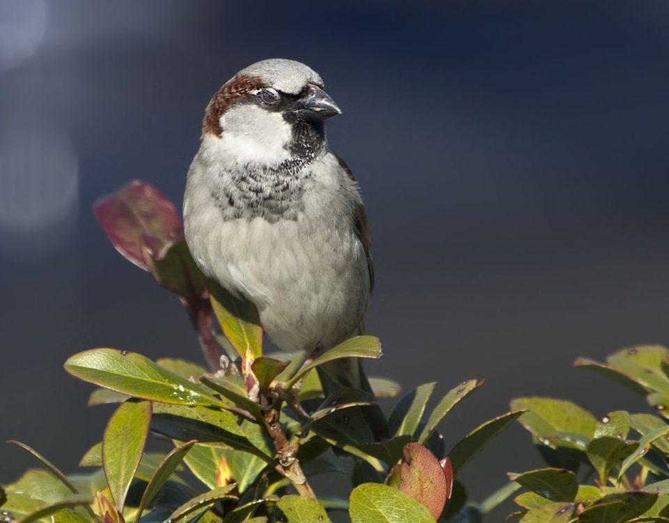 House Sparrow - Photo C Watts