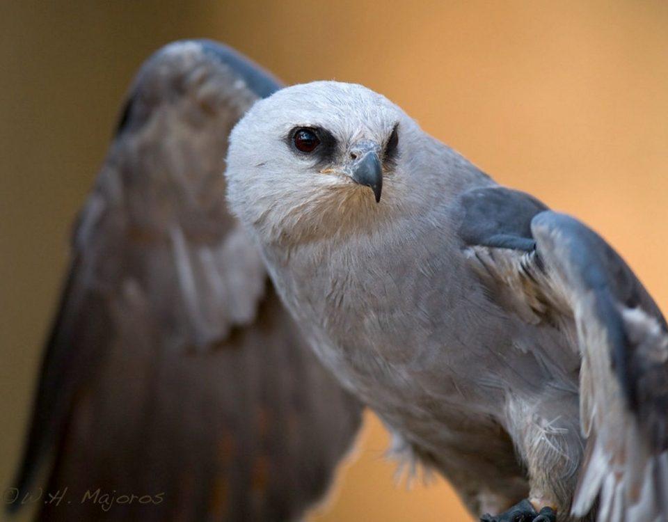 Mississippi Kite - Photo Bill Majoros
