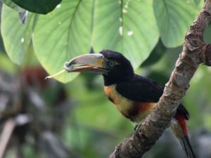 Aracari with Fruit