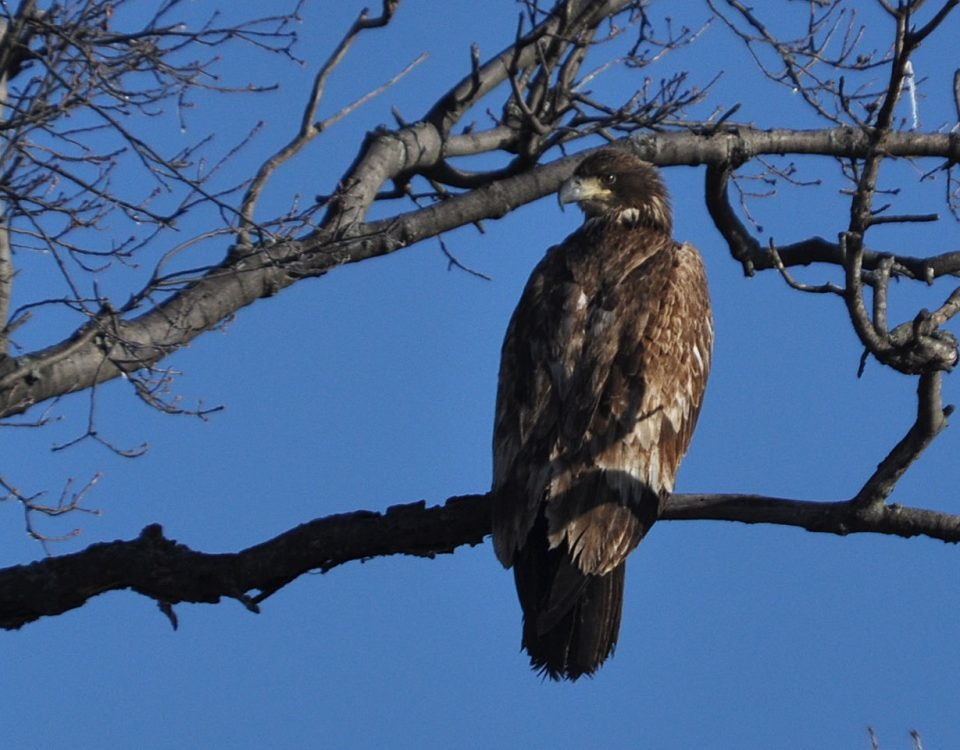 Bald Eagle (First Year)
