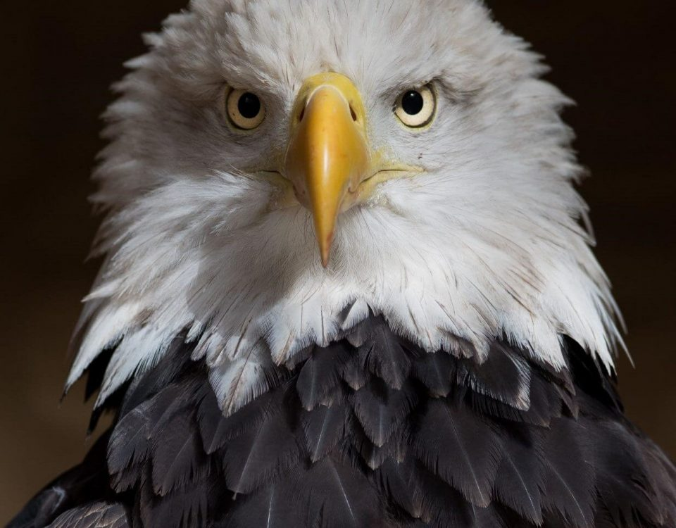 Bald Eagle - Photo Tim Daniel