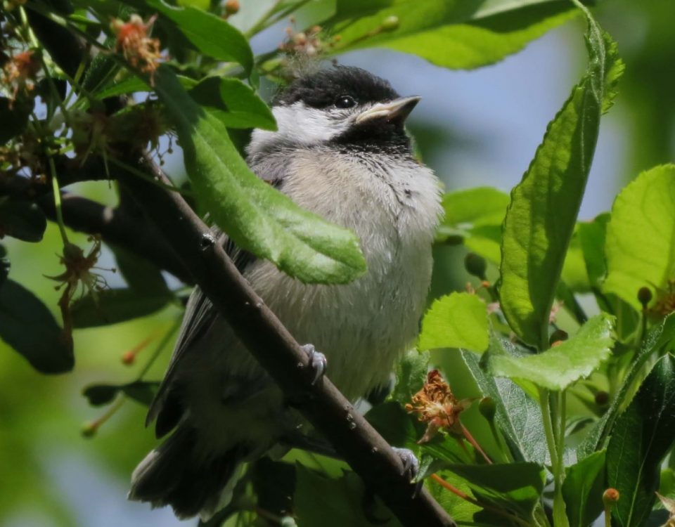 Carolina Chickadee (Immature)