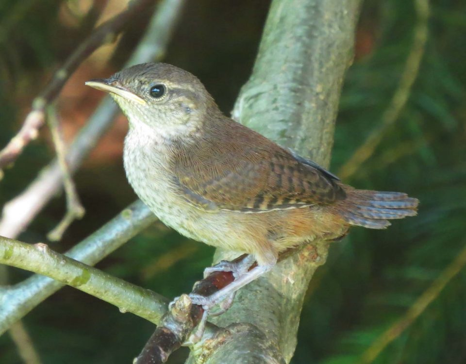 House Wren (Immature)