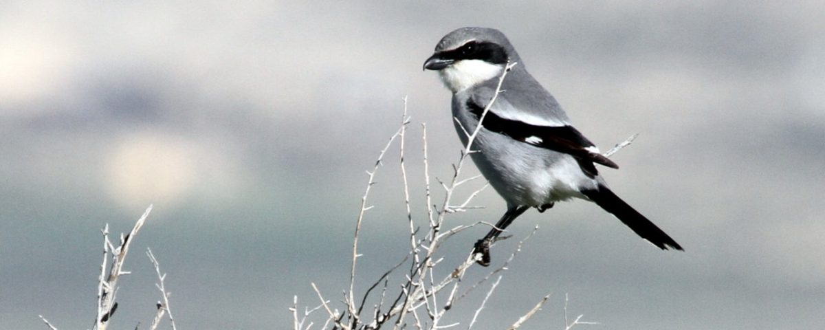 Loggerhead Shrike - Photo Greg Schechter