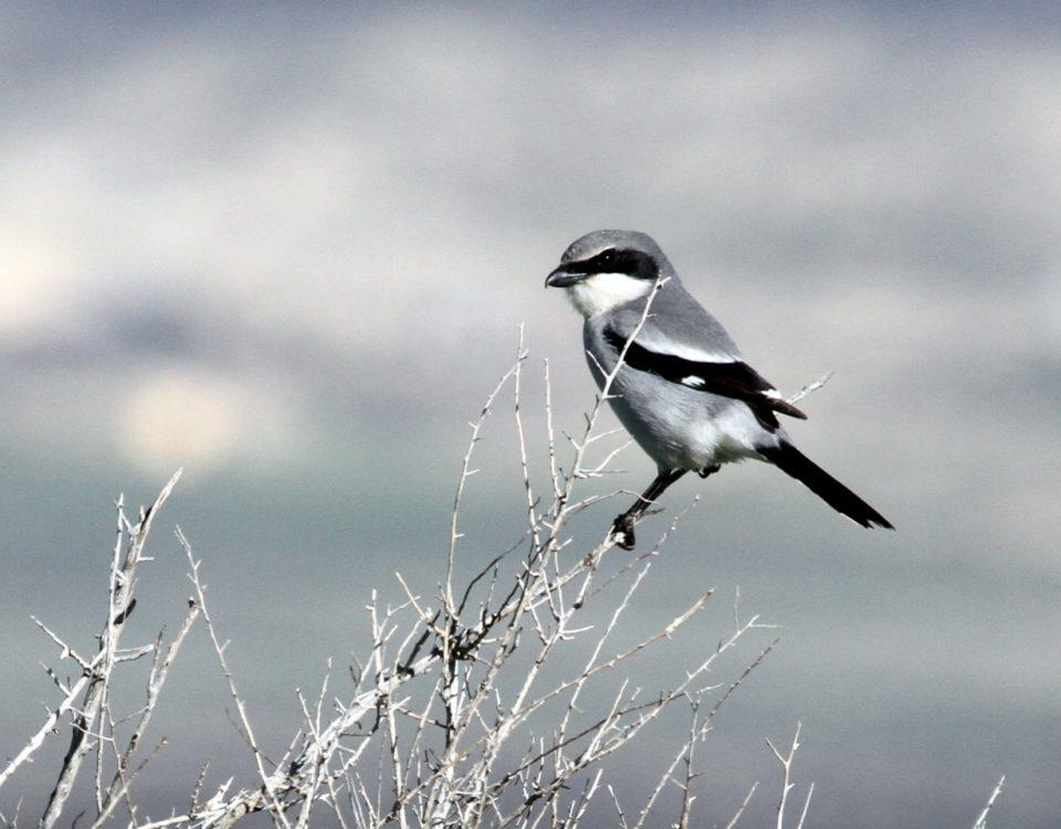 Loggerhead Shrike - Photo Greg Schechter