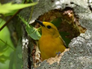 Prothonotary Adult in Natural Nest Cavity - Photo Bernadette Rigley
