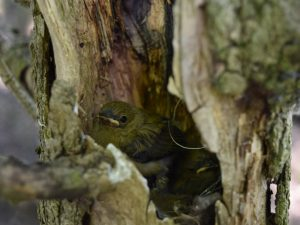 Prothonotary Chick in Nest Cavity - Photo Bernadette Rigley