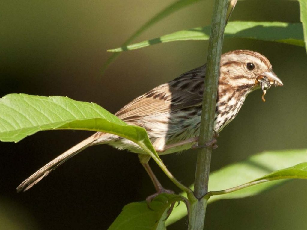Song Sparrow (Male) with Food for Young