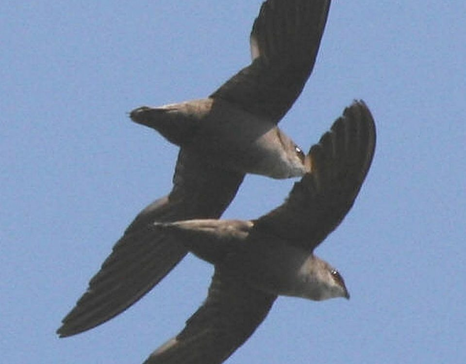 Chimney Swift Pair in Flight - Photo Paul and Georgean Kyle