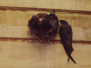 Chimney Swift Adult with Young - Photo Paul and Georgean Kyle