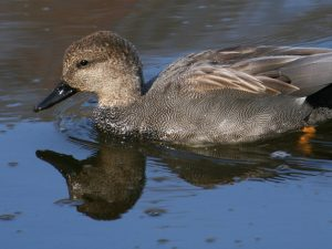 Gadwall Drake - Photo Duck Lover