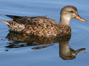 Gadwall Hen (female) - Photo Duck Lover