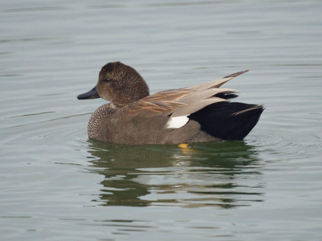 Gadwall - Photo Mike's Birds