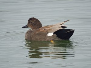 Gadwall - Photo Mike's Birds