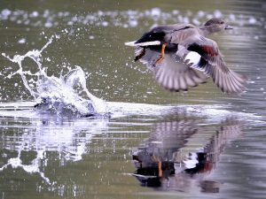 Gadwall Lifting Off - Photo Kev Chapman