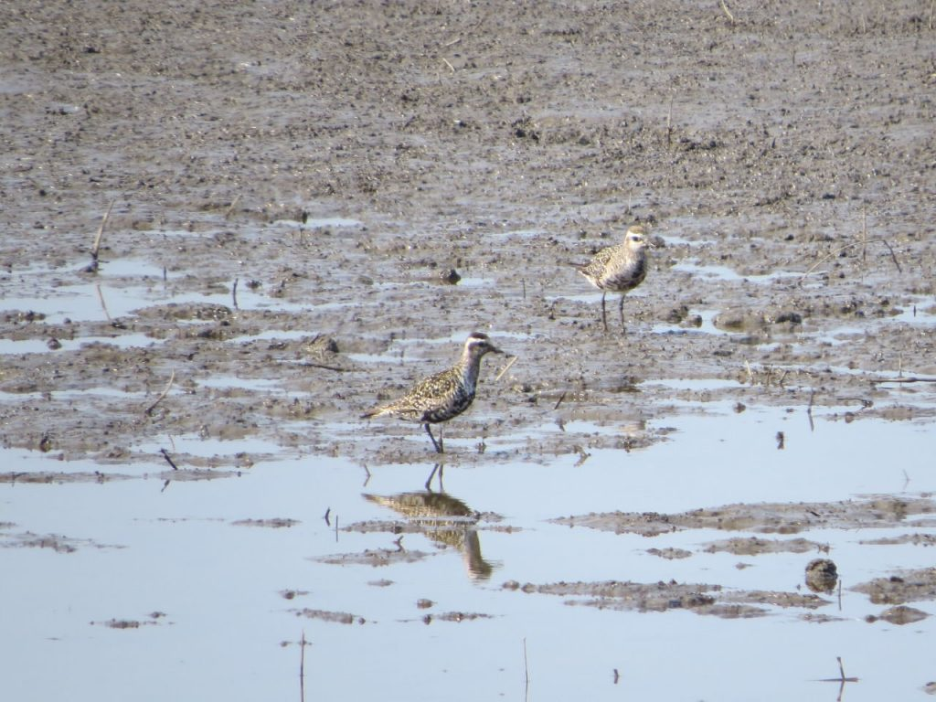 American Golden Plovers at Wilderness Road- Photo Lisa Phelps
