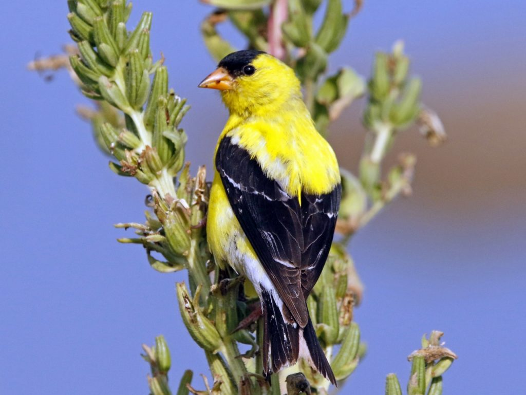 American Goldfinch (landscape) - Photo Earl Harrison