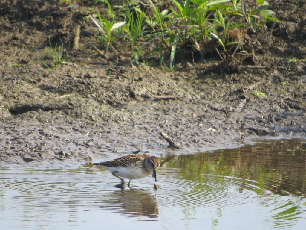 Least Sandpiper - Photo Lisa Phelps