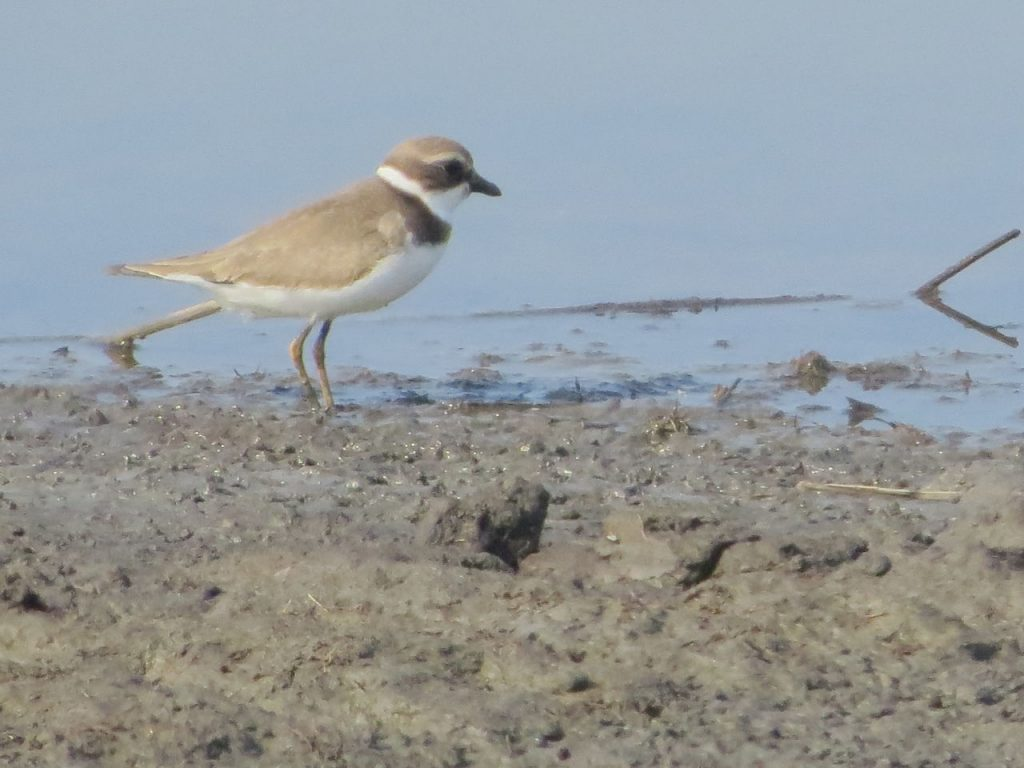 Semipalmated Plover - Photo Lisa Phelps
